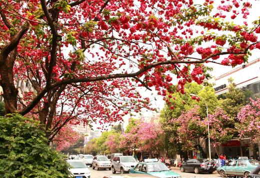 国内樱花最早盛开的地方-昆明,云南