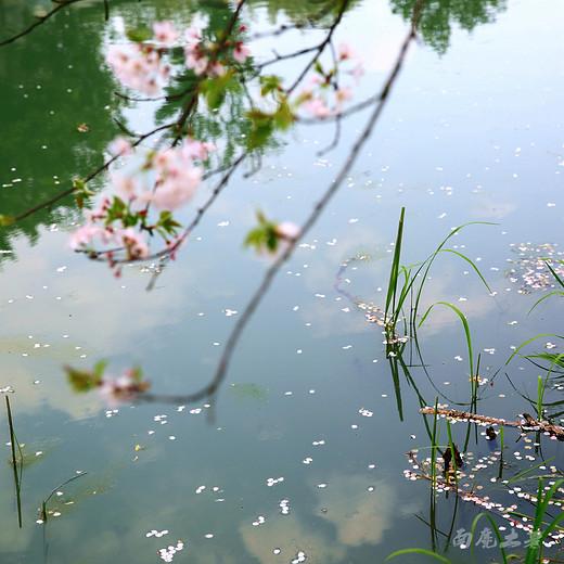 宛委山,最美四月樱花吹-绍兴