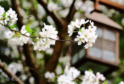 西湖孤山,樱花盛开像云像雪像春风-杭州