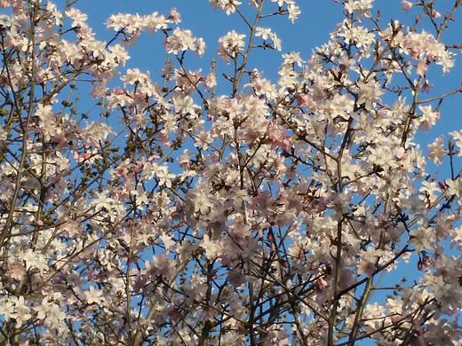 快来这里看樱花-北京