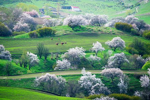 库尔德宁野杏花-天山,新疆