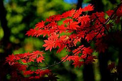 銀杏和紅楓的秋色浪漫