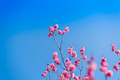 南京人都知道的小秘密,初春要来这里赏4万株梅花
