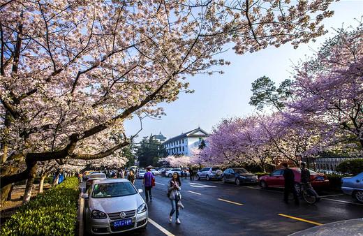 对中产阶级而言,怎样才是春游赏樱的正确姿势?-武汉大学,鼋头渚,武汉,日本,北京