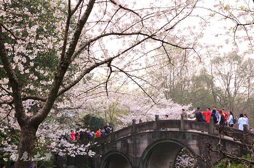太子湾樱花和郁金香同时盛开,美煞游人-苏堤,西湖,杭州