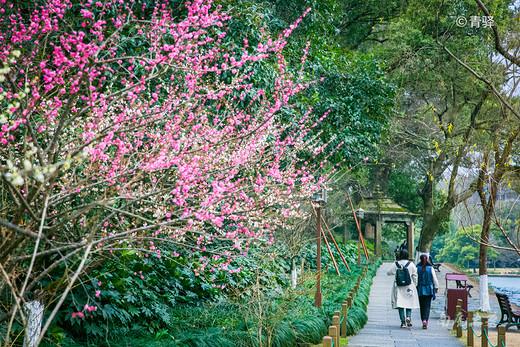疫情平稳,西湖开放,游人带口罩赏孤山最美梅花-杭州