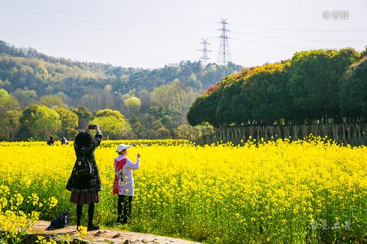 杭州八卦田花开,惊现多彩油菜花