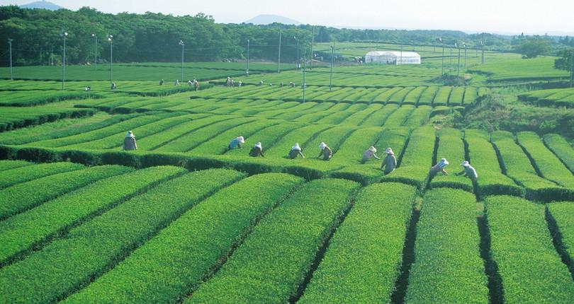 格伦洛奇茶厂