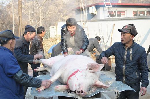 亲眼目睹农村人忙年杀年猪-河北