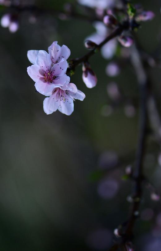 春风花草香—婺源春游记-江岭,篁岭