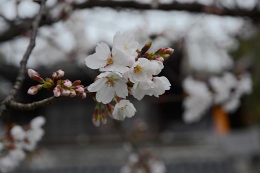 鸡鸣寺又一年樱花开-南京