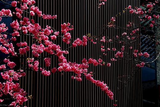 云南的樱花-无量山,大理