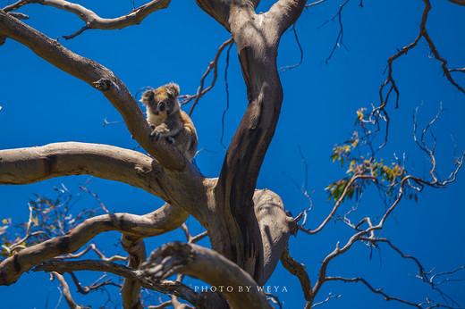 迷情考拉,追寻袋鼠,从阿德莱德到墨尔本漫漫自驾路(5)-维多利亚州,菲利普岛,十二使徒岩,大洋路
