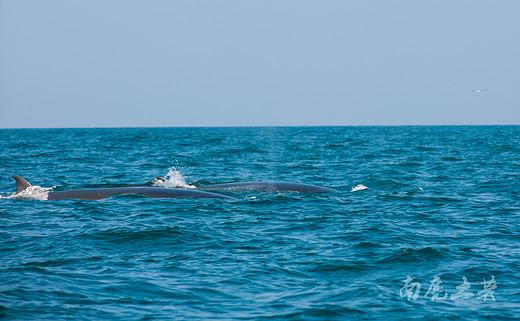 去年央视报道过的网红鲸鱼又回来了,就玩两个月-涠洲岛