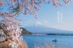 日本樱之物语